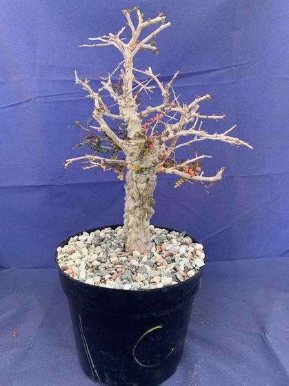 "Operculicarya decaryi C in 8"" Pot - Extra knobby specimen!"
