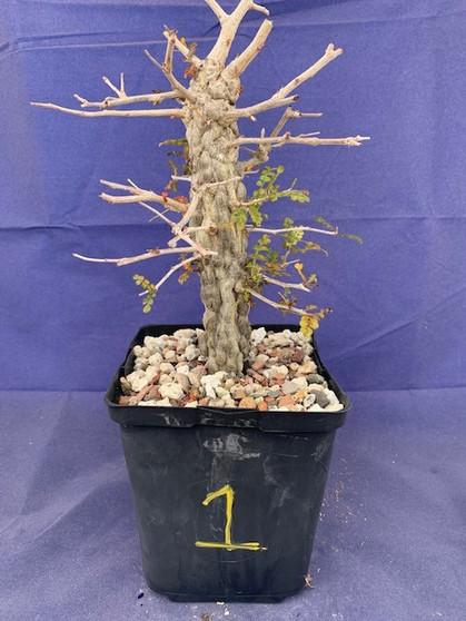 """Operculicarya decaryi 1 in 6"""" Pot - Extra knobby specimen!"""