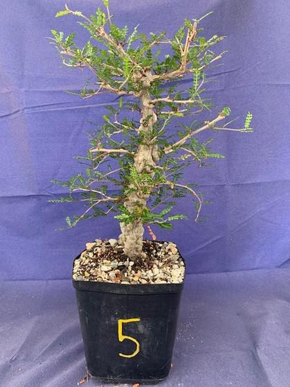 """Operculicarya decaryi #5 in 6"""" Pot - Extra knobby specimen!"""