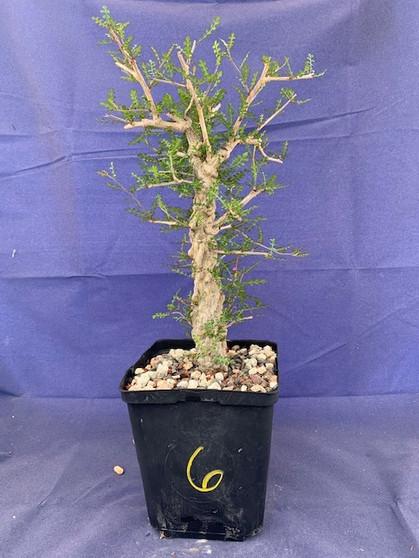 """Operculicarya decaryi #6 in 6"""" Pot - Extra knobby specimen!"""