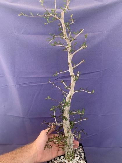 "Operculicarya decaryi  6"" Pot B - Taller knobby specimen!"