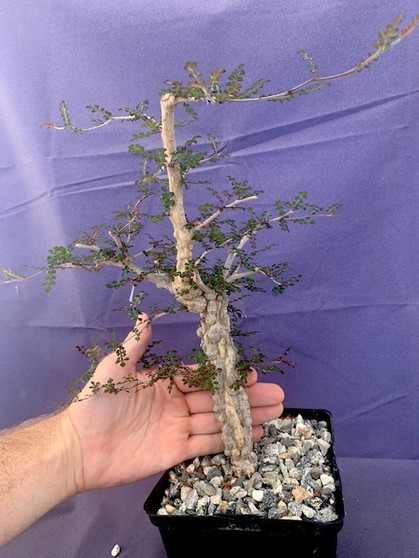 "Operculicarya decaryi  6"" Pot H - Extra knobby plant!"