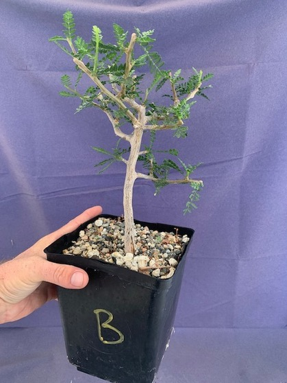"Bursera microphylla 6"" Pot Specimen - B"