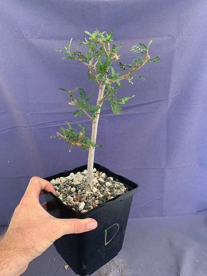 "Bursera microphylla 6"" Pot Specimen - D"