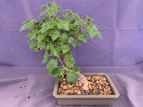 Sterculia rogersii - Incredible bonsai specimen! Old and hard-grown plant!