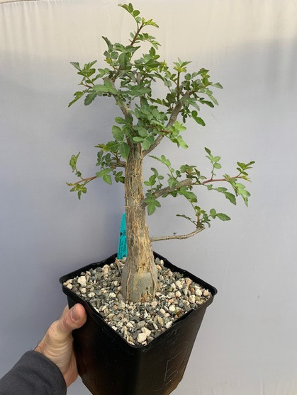 """Anthony's Choice - Bursera fagaroides 6"""" Pot E - 1 of 9 specimens featured in today's TUESDAY CHOOSEDAY!"""