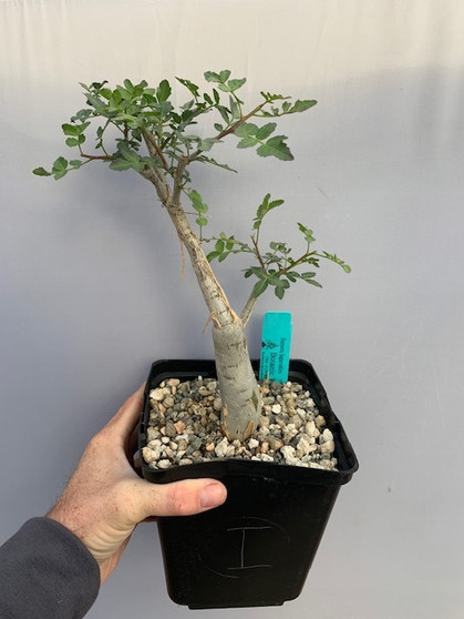 """Anthony's Choice - Bursera fagaroides 6"""" Pot I - 1 of 9 specimens featured in today's TUESDAY CHOOSEDAY!"""