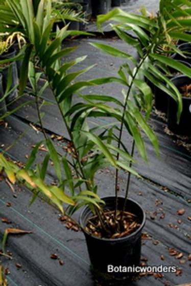 Ceratozamia robusta 05g 1