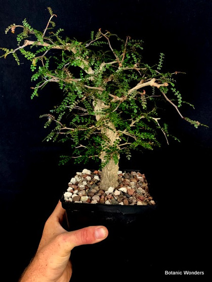 """Operculicarya decaryi 6"""" Pot - Perfect bonsai specimen! Great taper from base to growth tip!"""