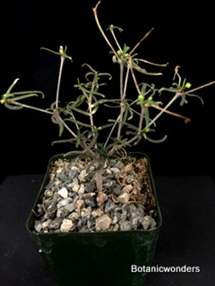 "Euphorbia hedyotoides 3.5"" Pot, raise plant to expose swollen roots"