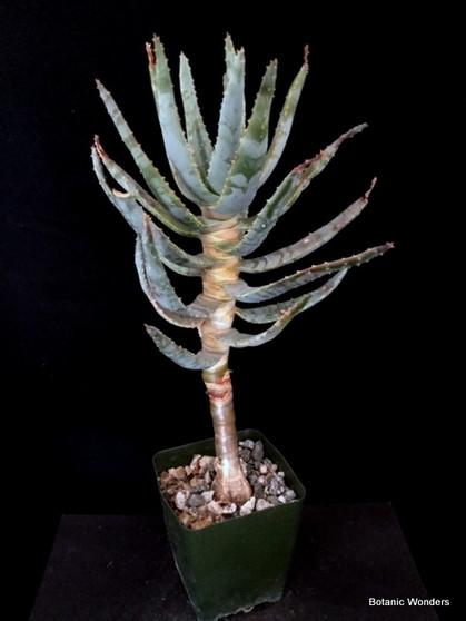 "Aloe dichotoma 3.5"" Pot, Nice trunk and root flare!"