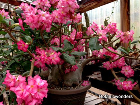 """Adenium arabicum 2.5""""Pot"""