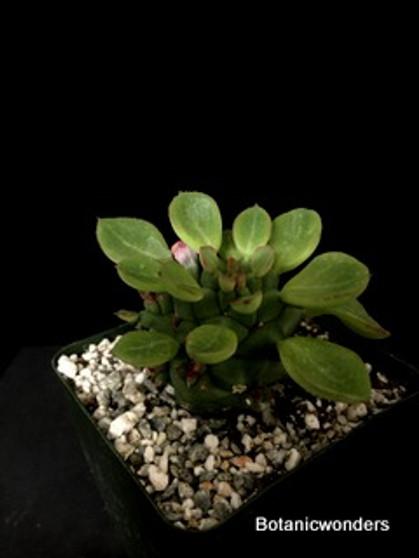 """Monadenium ritchiei, 3.5"""" pot,"""