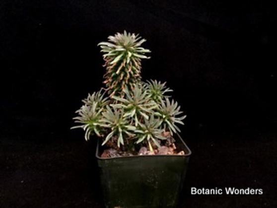 "Euphorbia Hummel hybrid, 'Twinkle Twirl', 3"" pot"