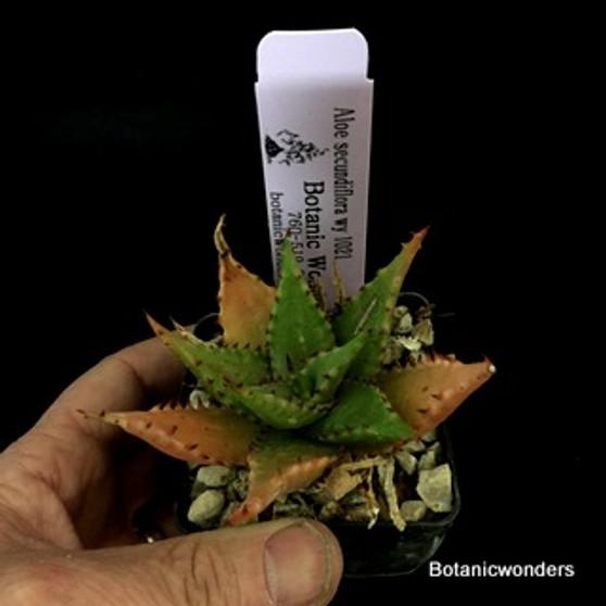 "Aloe secundiflora, 3"" pot"
