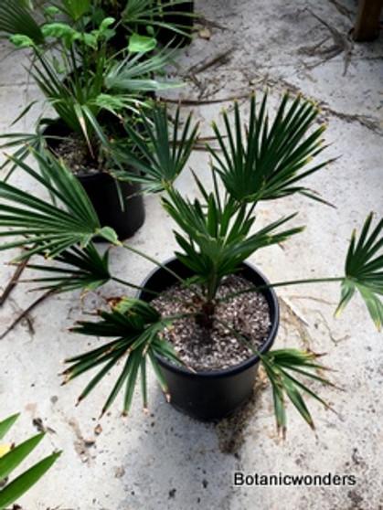 Trachycarpus wagnerianus, 5 gallon
