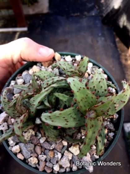 Aloe castilloniae, 5' pots, Super rare Aloe! One of my personal favorites!