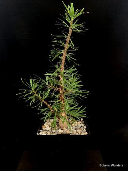 """Fouquieria purpusii, 6"""" Pot Large Specimen!"""