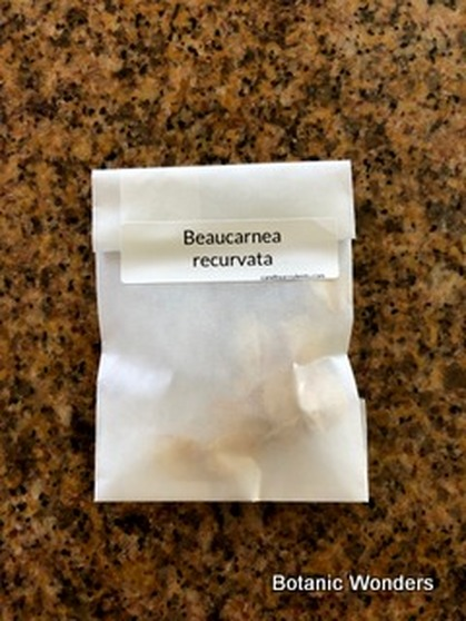 Beaucarnea recurvata, 10 Seeds