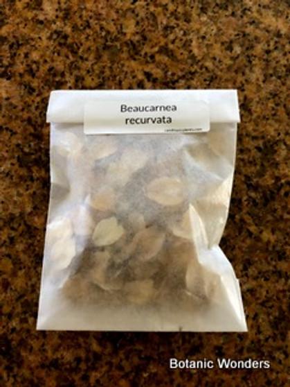 Beaucarnea recurvata, 100 Seeds
