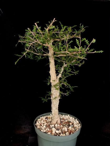 "Operculicarya decaryi #1 in 8"" Pot - Specimen ready for bonsai!"