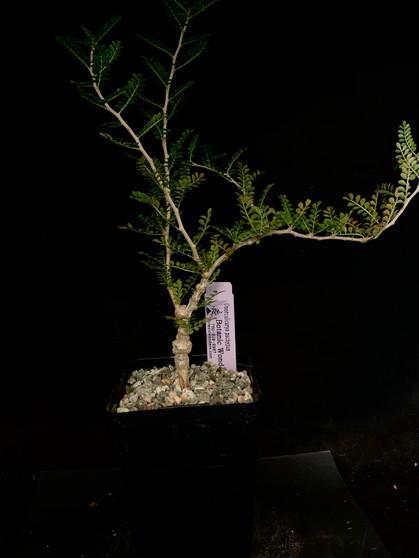 """Operculicarya pachypus #3 - 5"""" pot"""