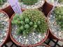 """Euphorbia submammillaris - 6"""" pots - Awesome green mounds!"""