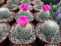 "DAILY DEAL 2/8/21 - Thelocactus macdowellii - Stunning 6"" Pots!"