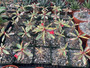 "Euphorbia milli variegata - 3.5"" Pots - Beautiful variegation!"