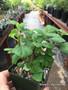 "Plectranthus ernstii, 3.5"" pot"