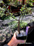 """Fouquieria macdougalii, 3.5"""" pot, Nice fat and old seedlings that are ready for bonsai!"""