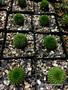 """Euphorbia suzannae, 3.5"""" pot"""