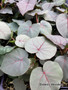 """Ficus petiolaris 4"""" pot, nice plants forming thick trunks. Great for bonsai!"""