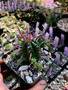 """Euphorbia ferox, Beautiful red-purple spines! 3.5"""" pot, all have offsets!"""