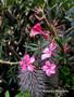 """Pachypodium succulentum, 3.5"""" pot"""