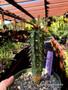 "Euphorbia ankarafantsiensis, 6"" pot, Beautiful Madagascar Euphorbia!"