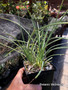 "Agave tenuifolia (Xilita), 5"" pot, Very cool Double Headed Specimen!"
