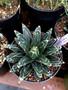 "Agave victoria-reginae 8"" Pot Massive plants with high white markings!"