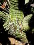 Pseudobombax ellipticum, 100 Seeds