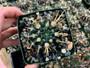 "Notocactus turecekianus 3.5"" Pot - Dark Cacti with Gnarly Spines!"