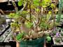 """Plectranthus ernstii, """"Bonsai Mint"""" - Unique SPECIMEN in 5"""" Pot!"""