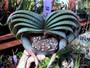 Aloe suprafoliata - 25 Seeds Freshly Harvested!