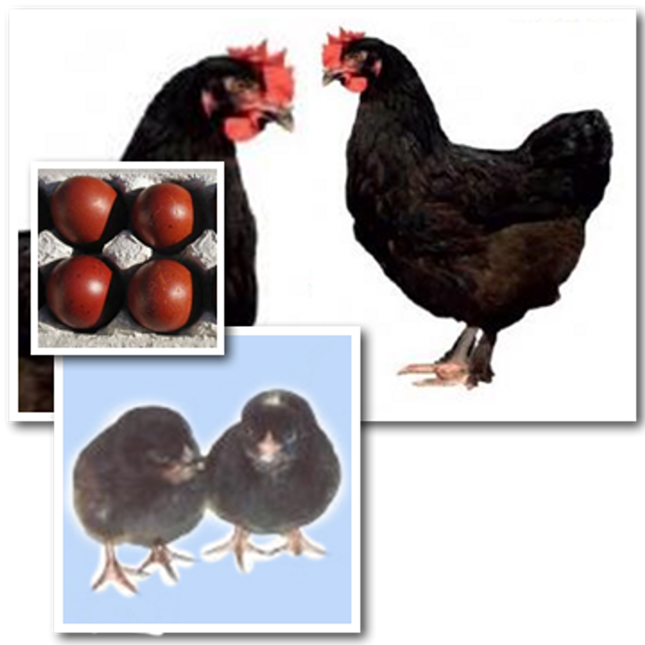 This unique breed, imported from the Czech Republic, is a proprietary heritage/hybrid cross between a Black Copper Maran male and a Barred Rock female. With a feather color that resembles that of a Copper Maran, this breed forages well. It will produce an impressive 290+ large copper-to-dark chocolate-colored eggs per calendar year, which is exceptional for a breed that lays dark eggs. The Dominant Copper is an excellent balance of beautiful eggs and efficiency. Color sexable at hatch.| EGG COLOR: BROWN | MATURE WT: MALE 6 LBS. FEMALE 4.5 LBS.