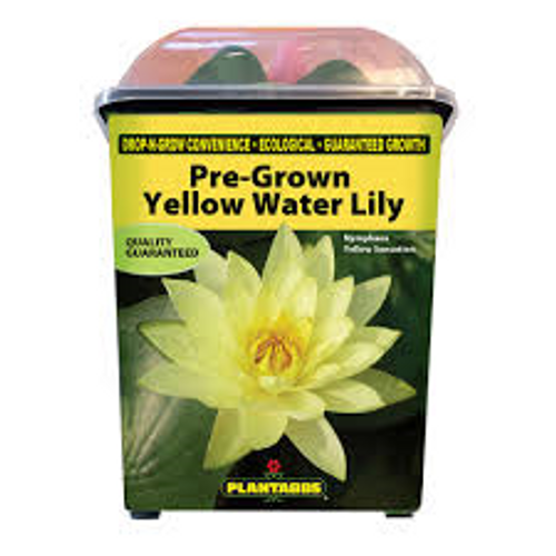 Plantabbs Pre Rooted Yellow Sensation Hardy Water Lily Ready Plant Drop -N-Grow