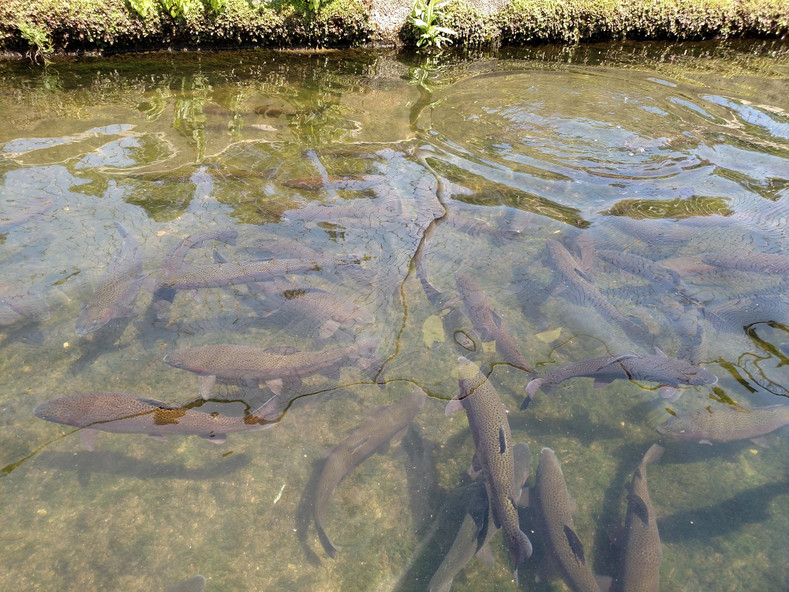 Some key information on Steelhead and Rainbow Trout