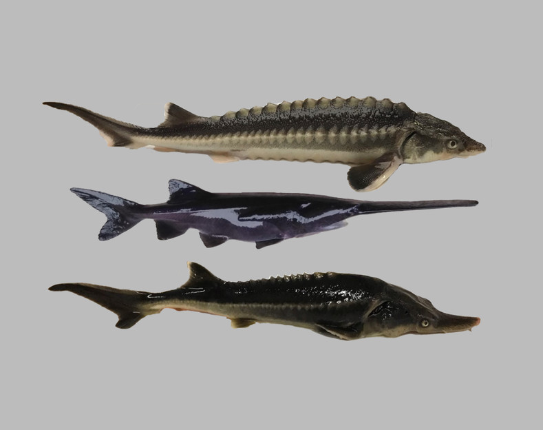 Hungarian Scientists Unintentionally Create a New Hybrid Sturgeon Species - The 'Sturddlefish'
