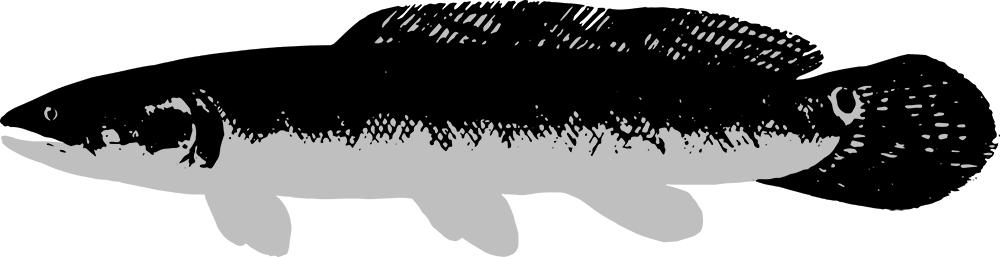 caviarstar-bowfin-black-3-med.jpg