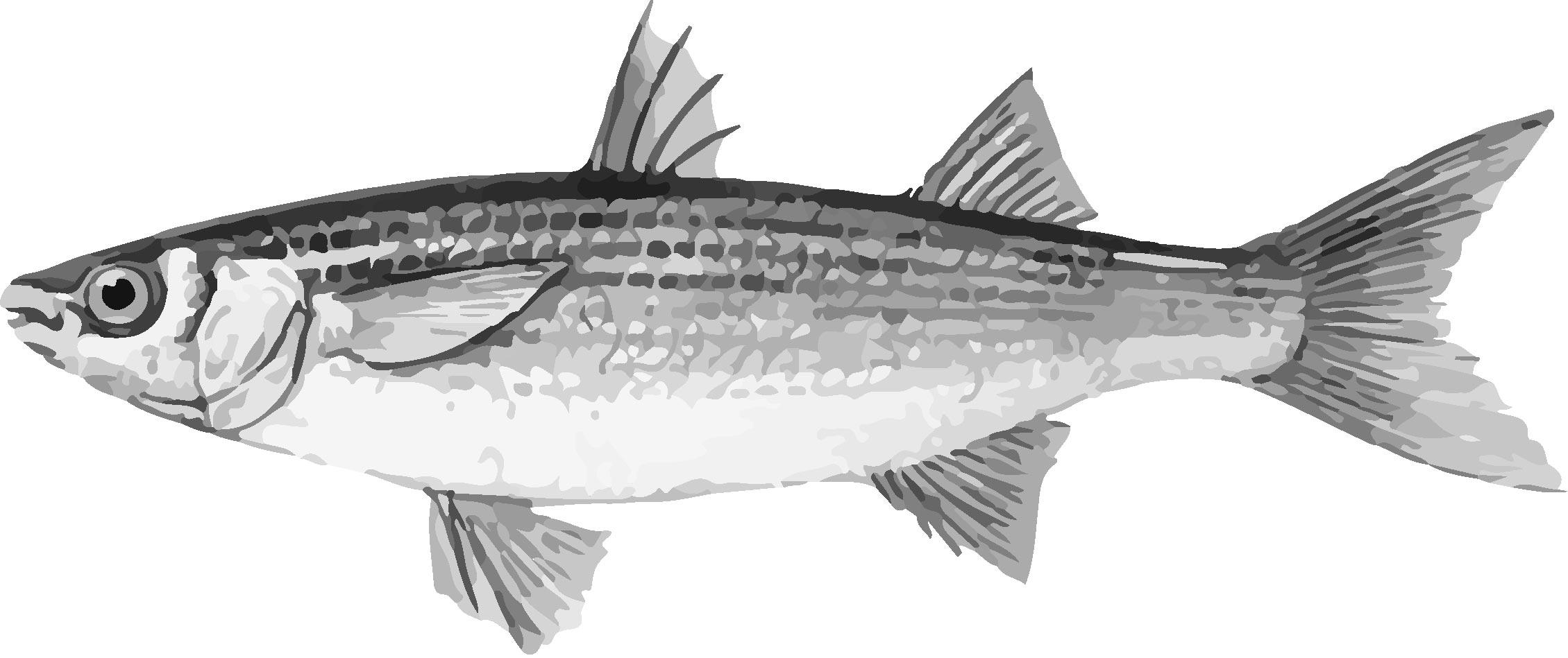 mullet-bottarga-fish-pic-blacck-and-white.jpg