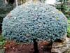 Lollipop Globe Blue Spruce
