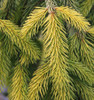 Gold Drift Dwarf Weeping Golden Norway Spruce